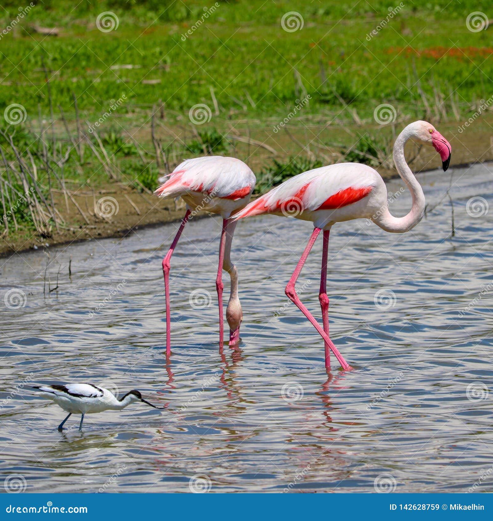 Flamingo in het wild, fuente DE piedra