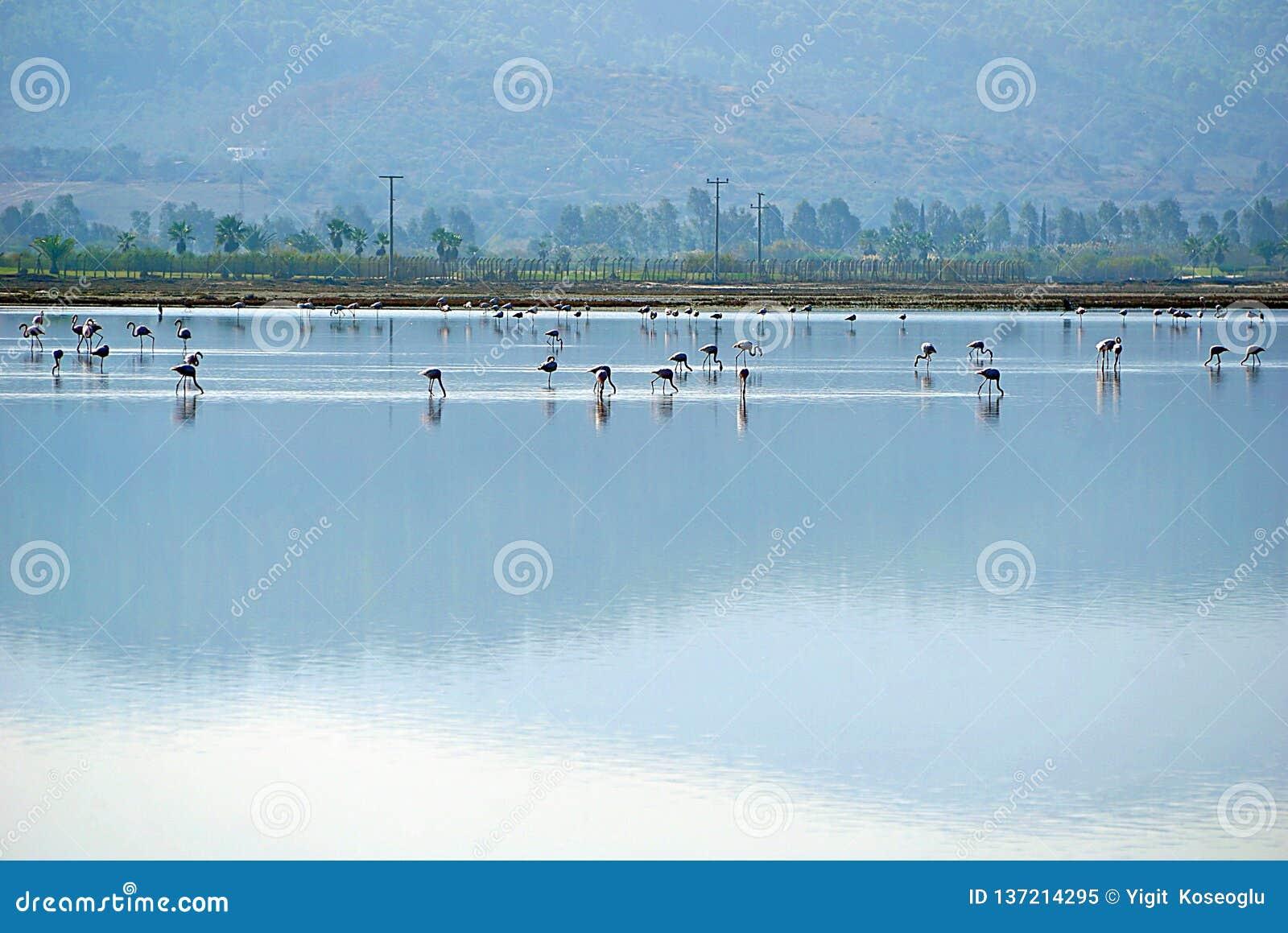 Flamingo i sjön Tuzla Milas-Turkiet