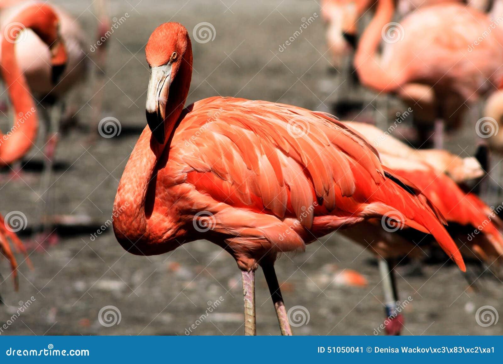 Flamingo III
