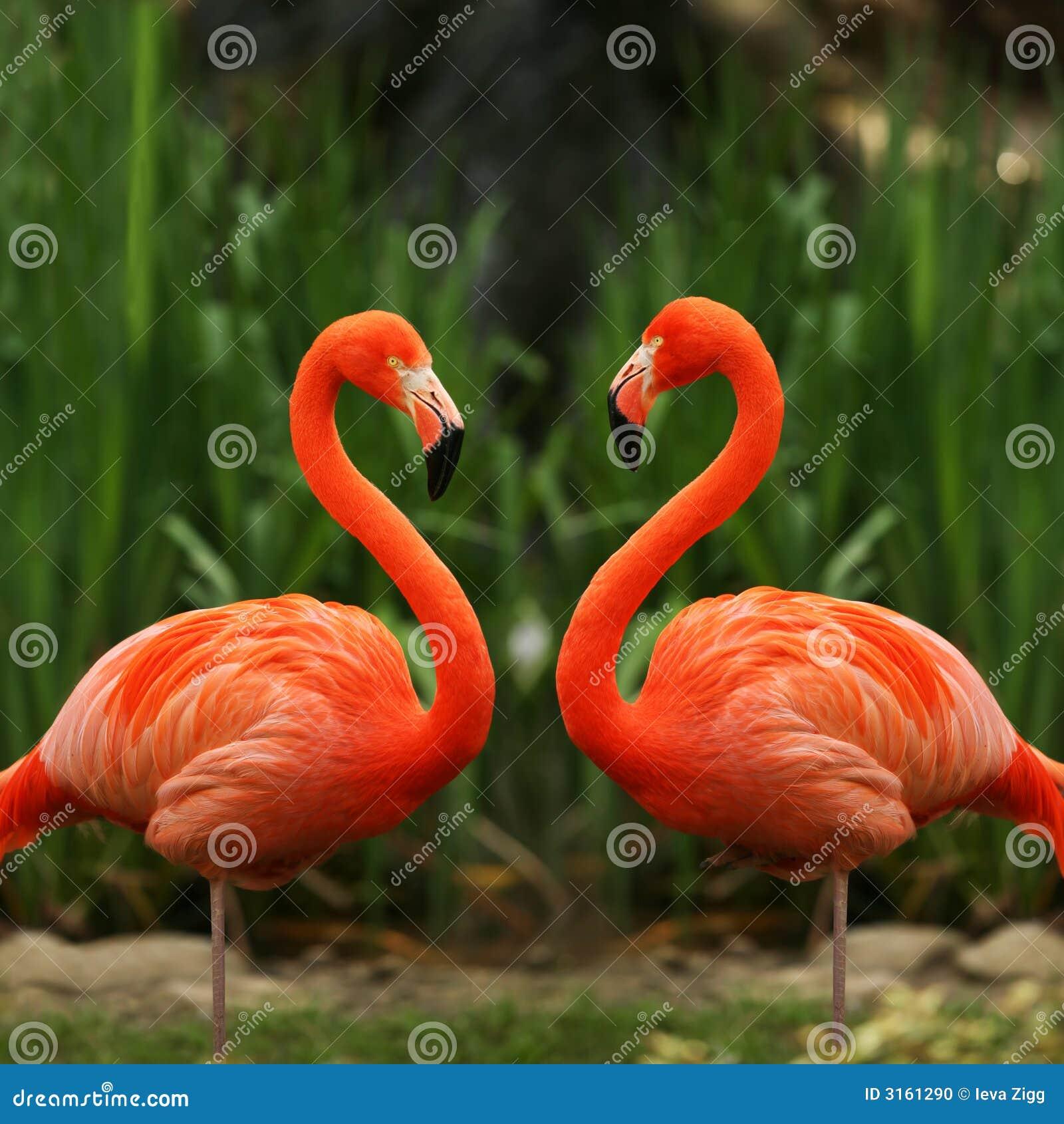 Flamingo love talk