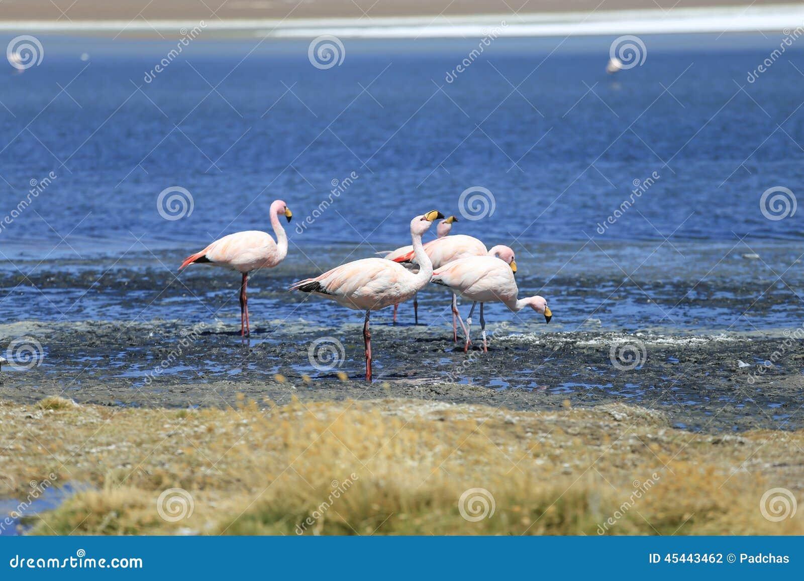 Flamingo no lago de sal, Bolívia