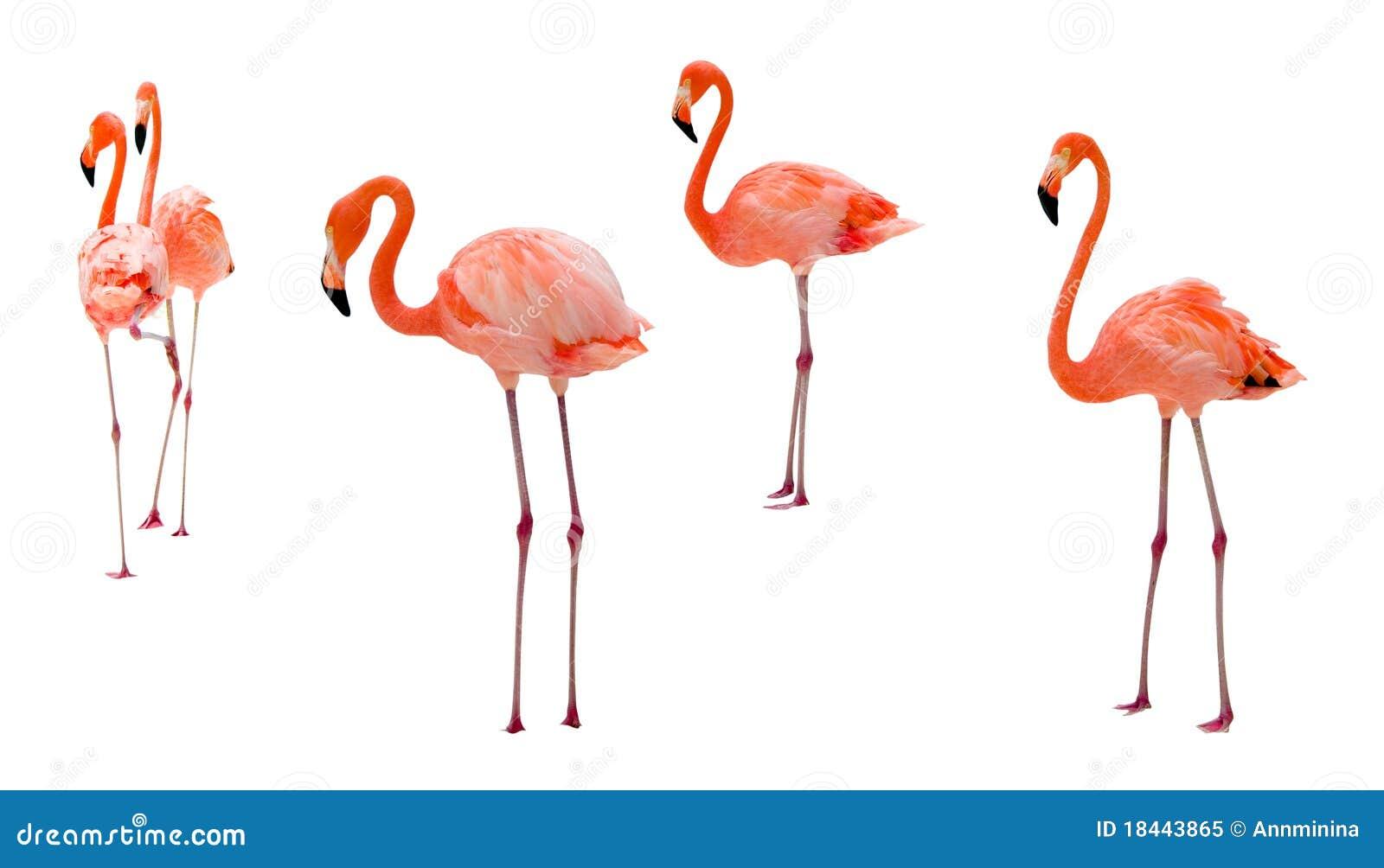 Flamingo op wit