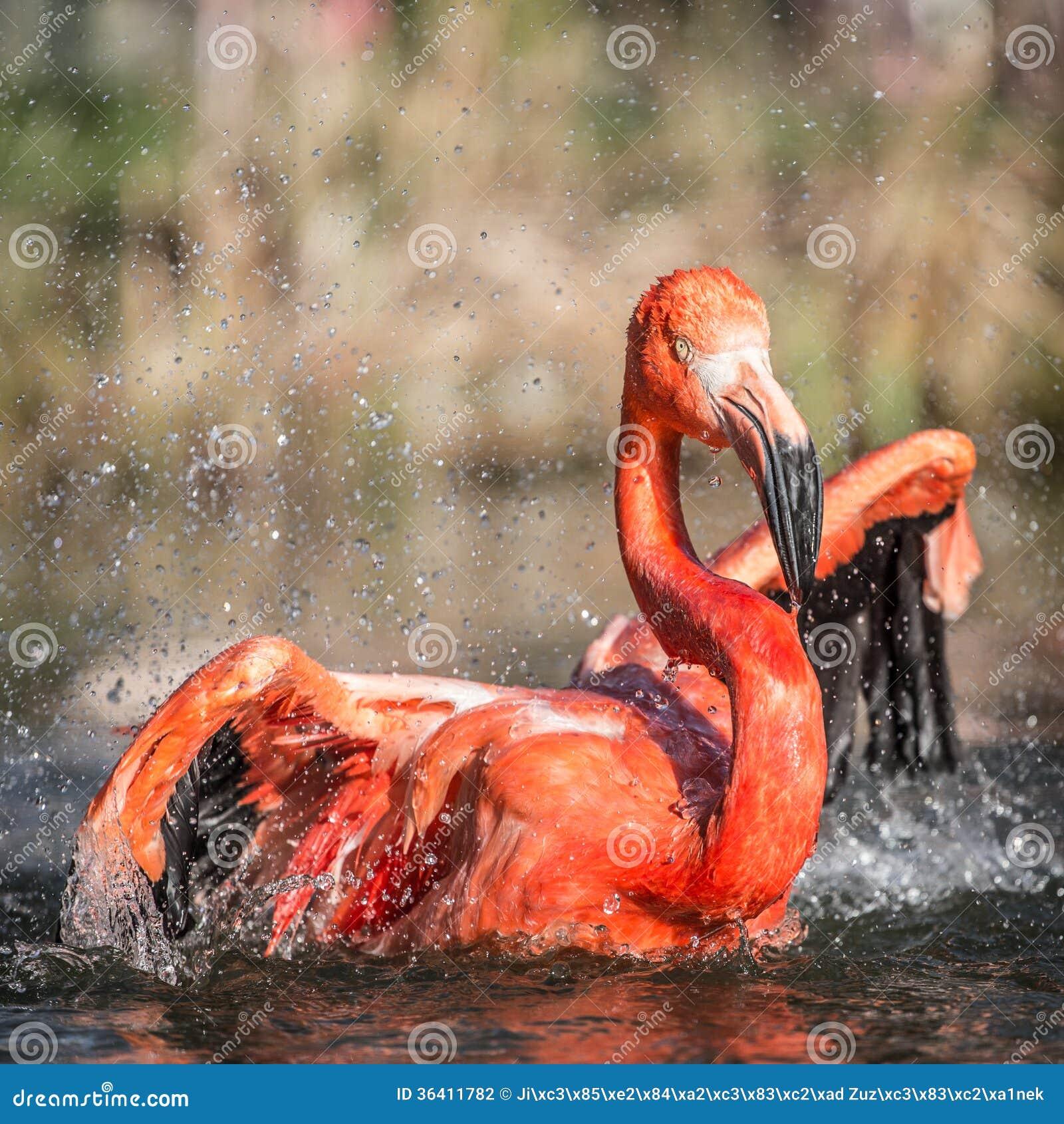 Flamingo portraits