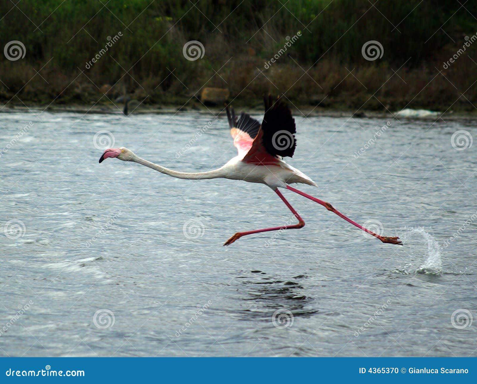 Flamingo pronto para voar