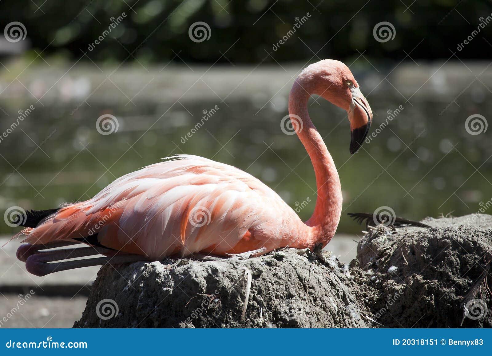 Flamingo que senta-se no ninho