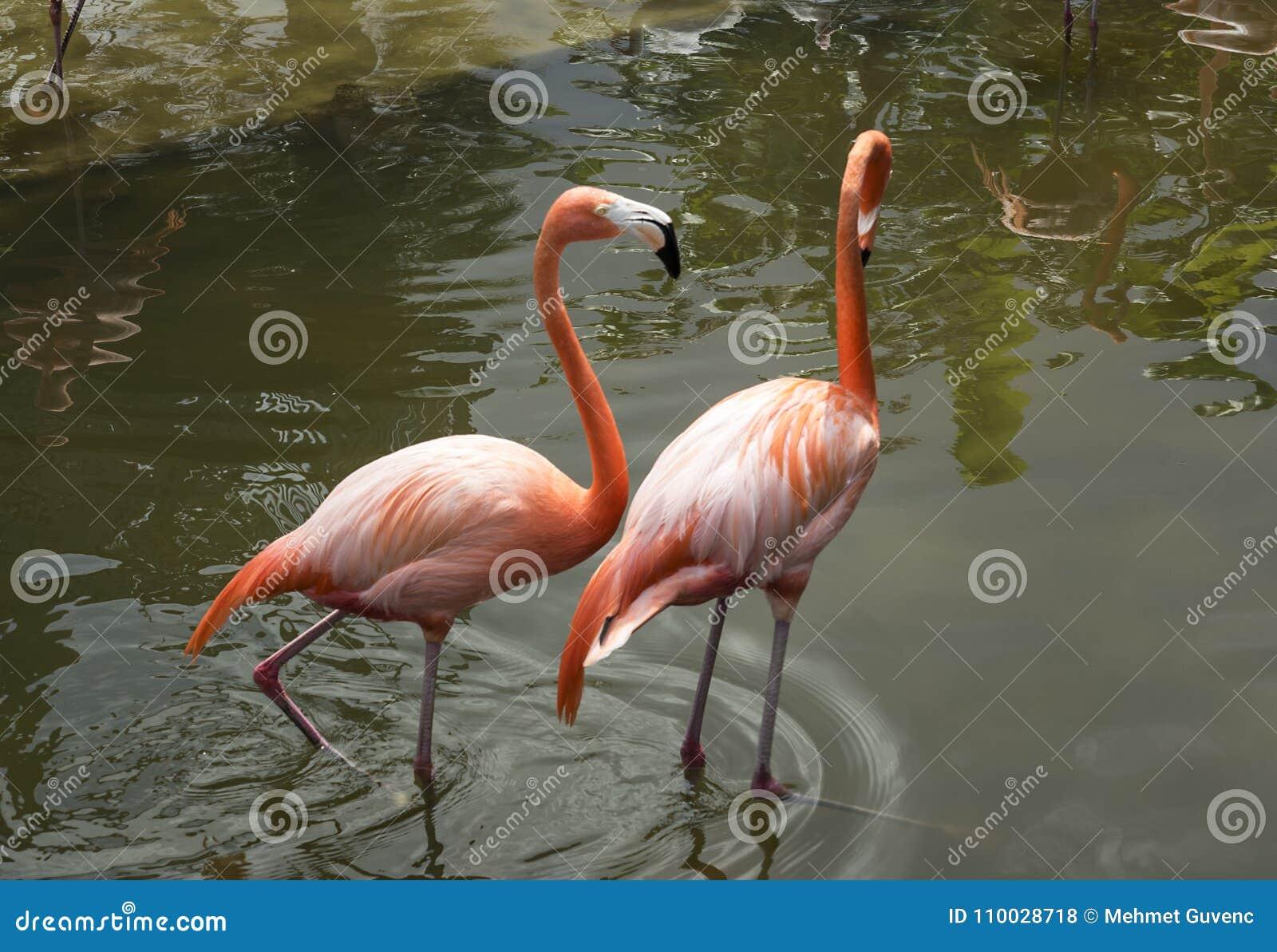 Flamingo, roze en wit