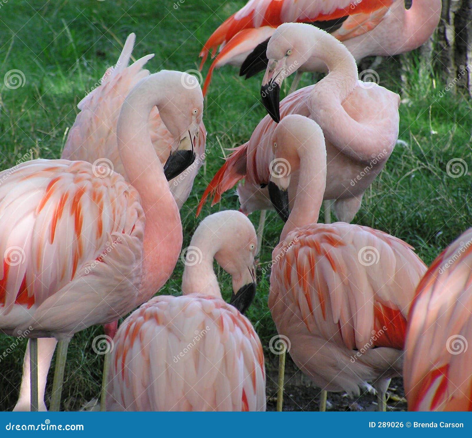 Flamingo s: De Bespreking van de groep