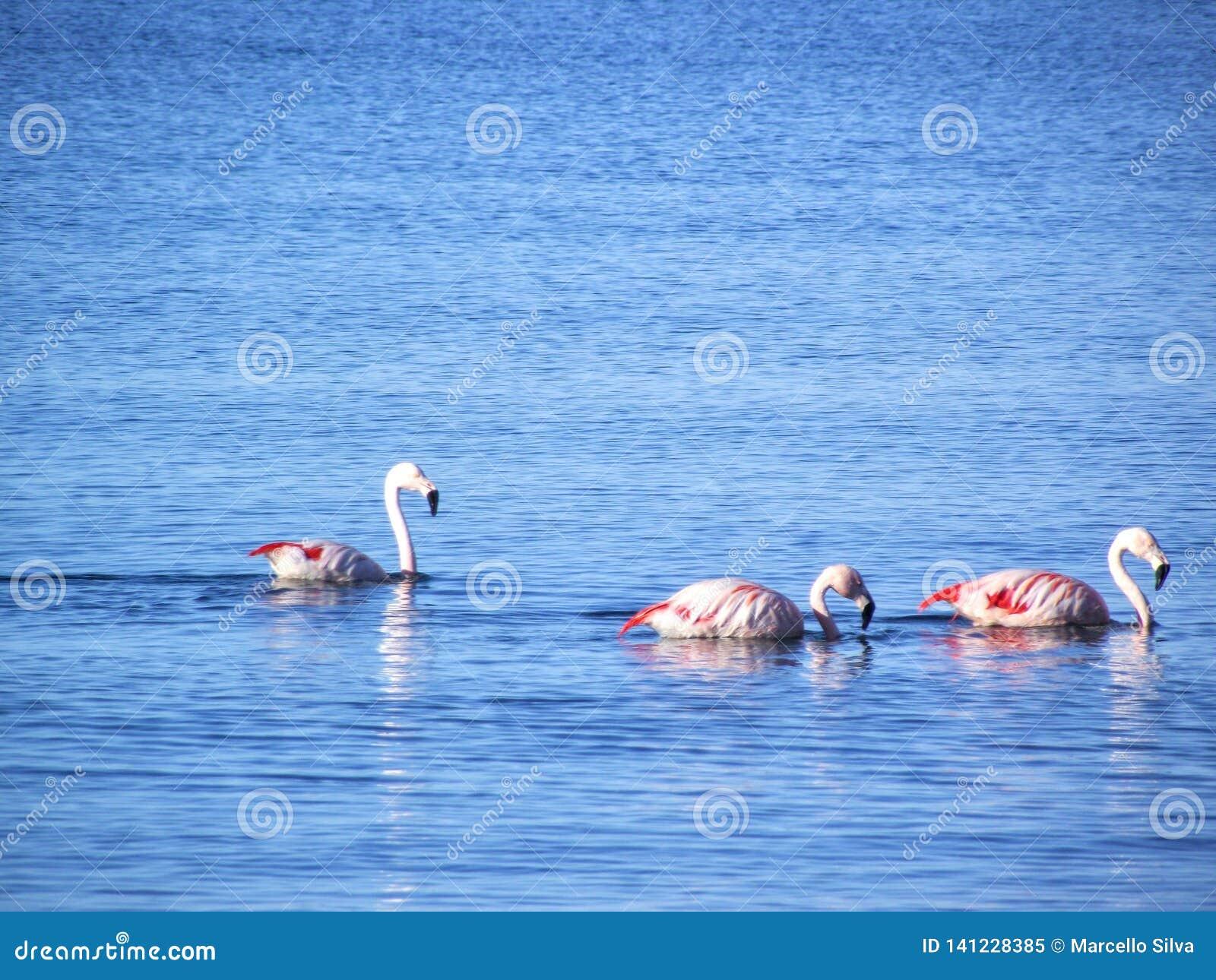 Flamingo s die bij het blauwe overzees varen - Puerto Madryn/Argentinië