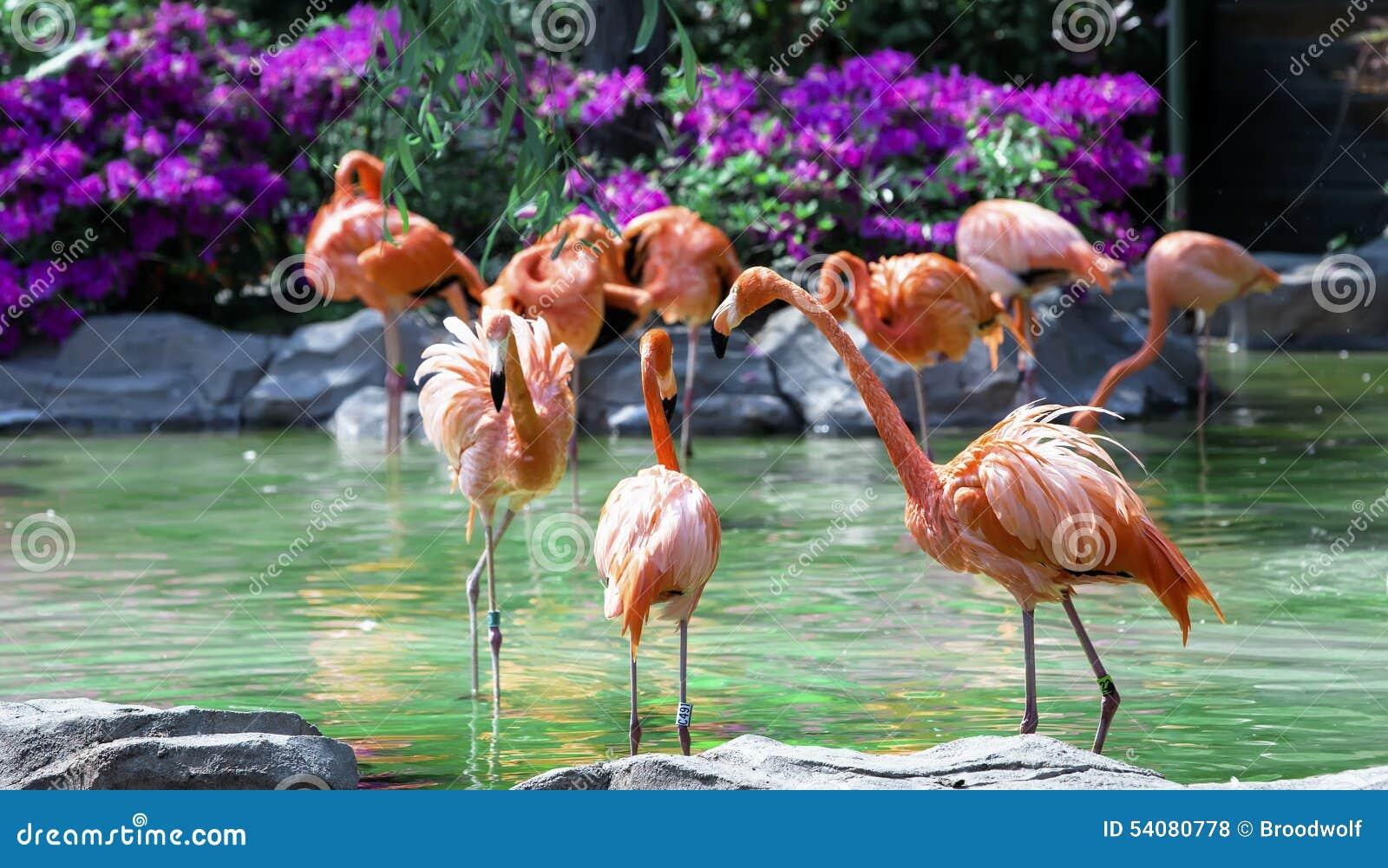 Flamingo s die zich in water van vijver bevinden