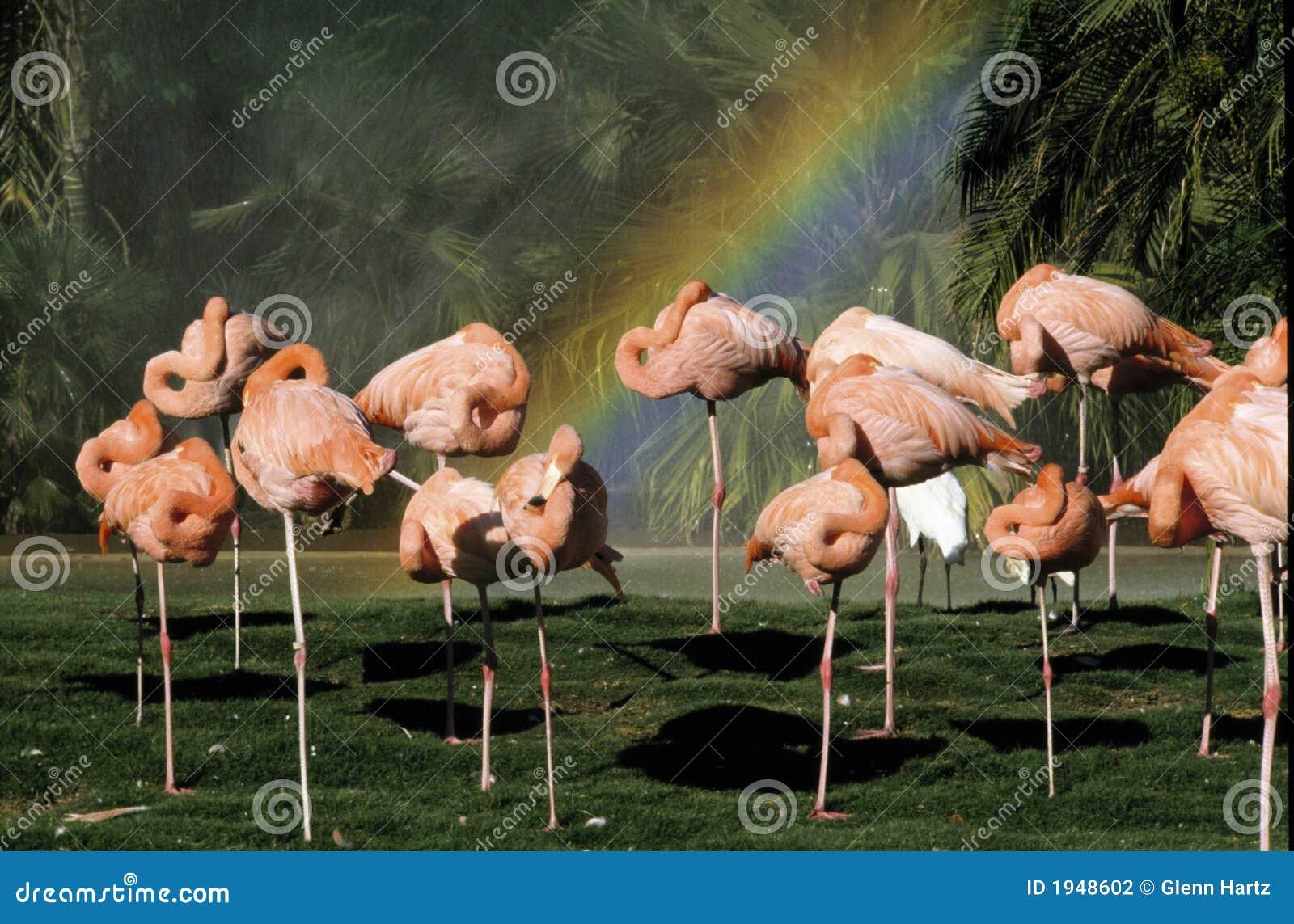 Flamingo s en een Regenboog