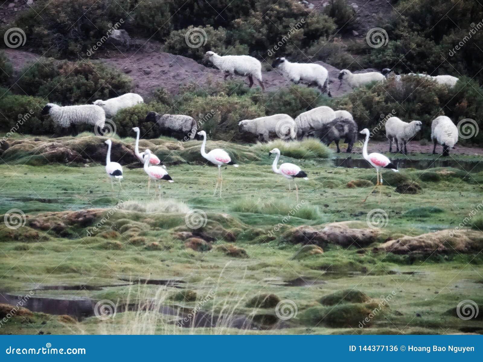 Flamingo season in Uyuni, Bolivia