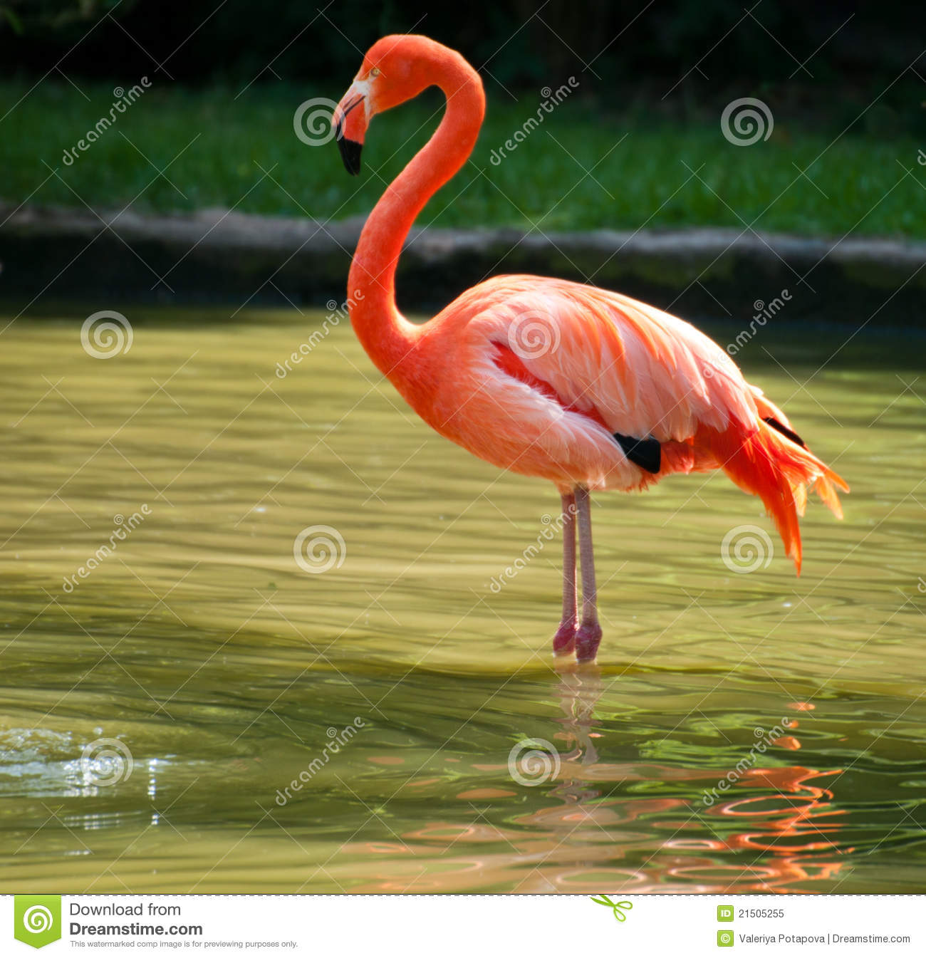 Flamingo standing on two foot