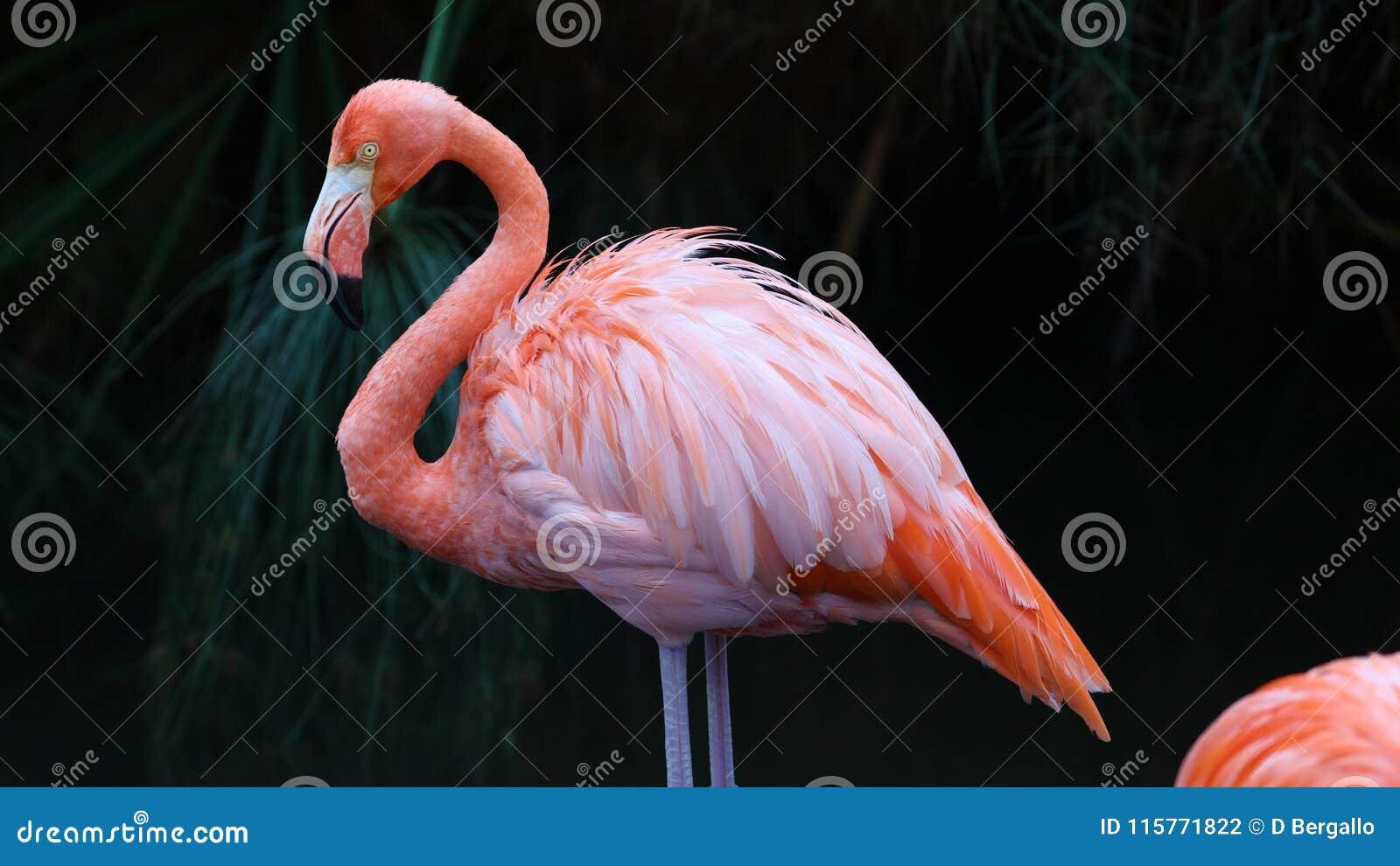 Flamingo vermelho original em um lago, foto alta da definição deste aviário maravilhoso em Ámérica do Sul