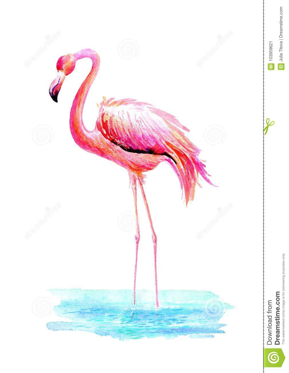 Flamingo in water.Exotic bird on a white background.