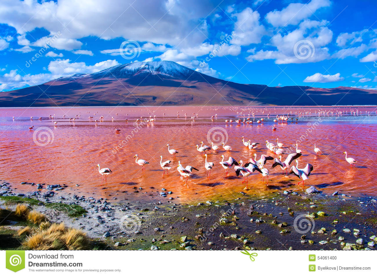 Download Flamingoes In Laguna Colorada , Bolivia Stock Photo - Image of laguna, animal: 54061400