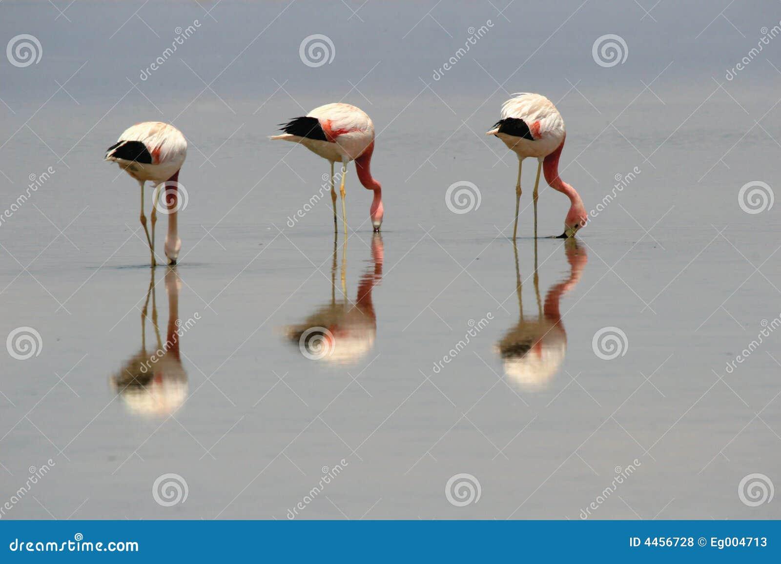 Download Flamingos stock photo. Image of colorful, east, atacama - 4456728