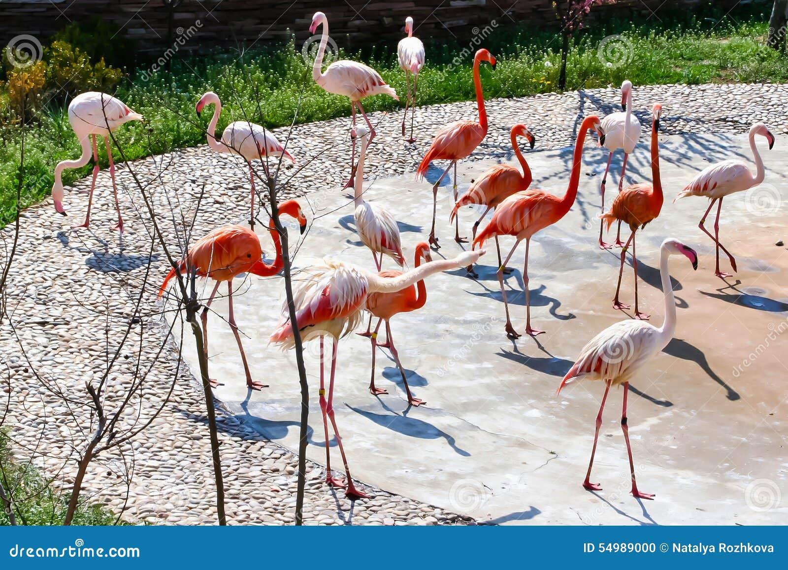 Flamingos. A flock of birds flamingos. Wildlife. The Safari Park ...