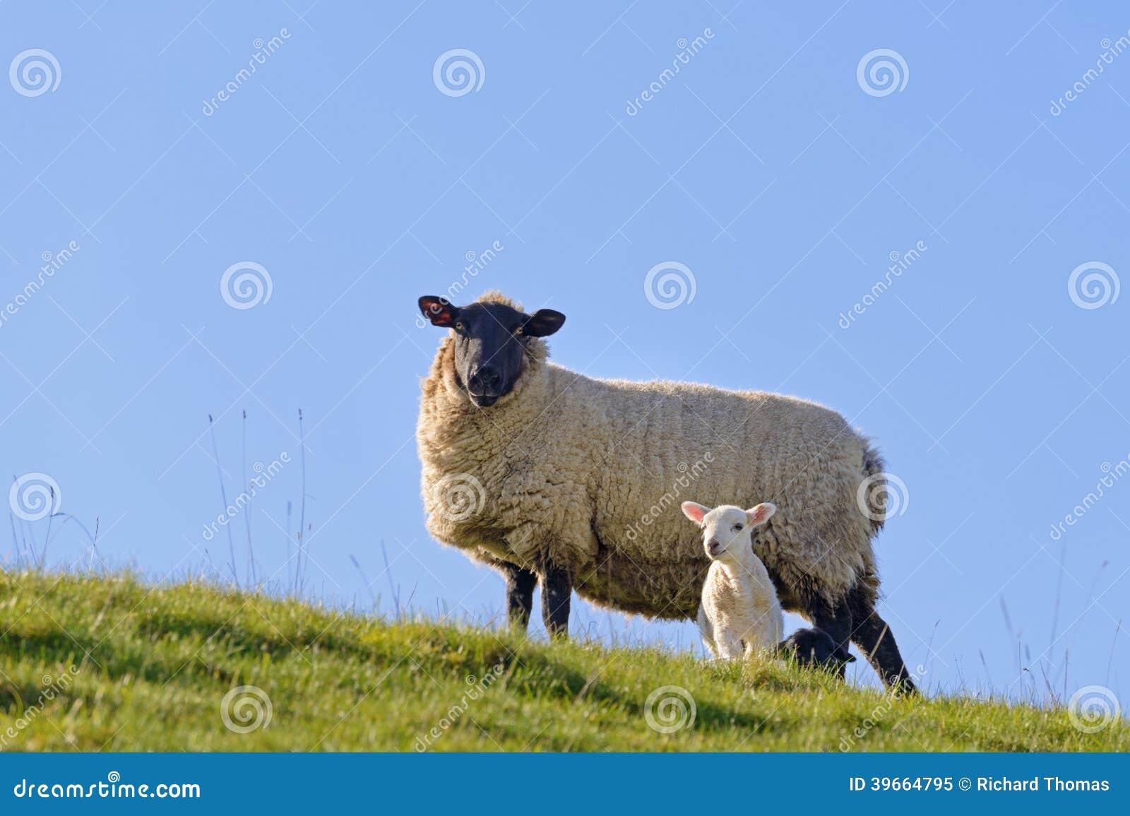 flanc de coteau d 39 agneau de ressort image stock image du. Black Bedroom Furniture Sets. Home Design Ideas