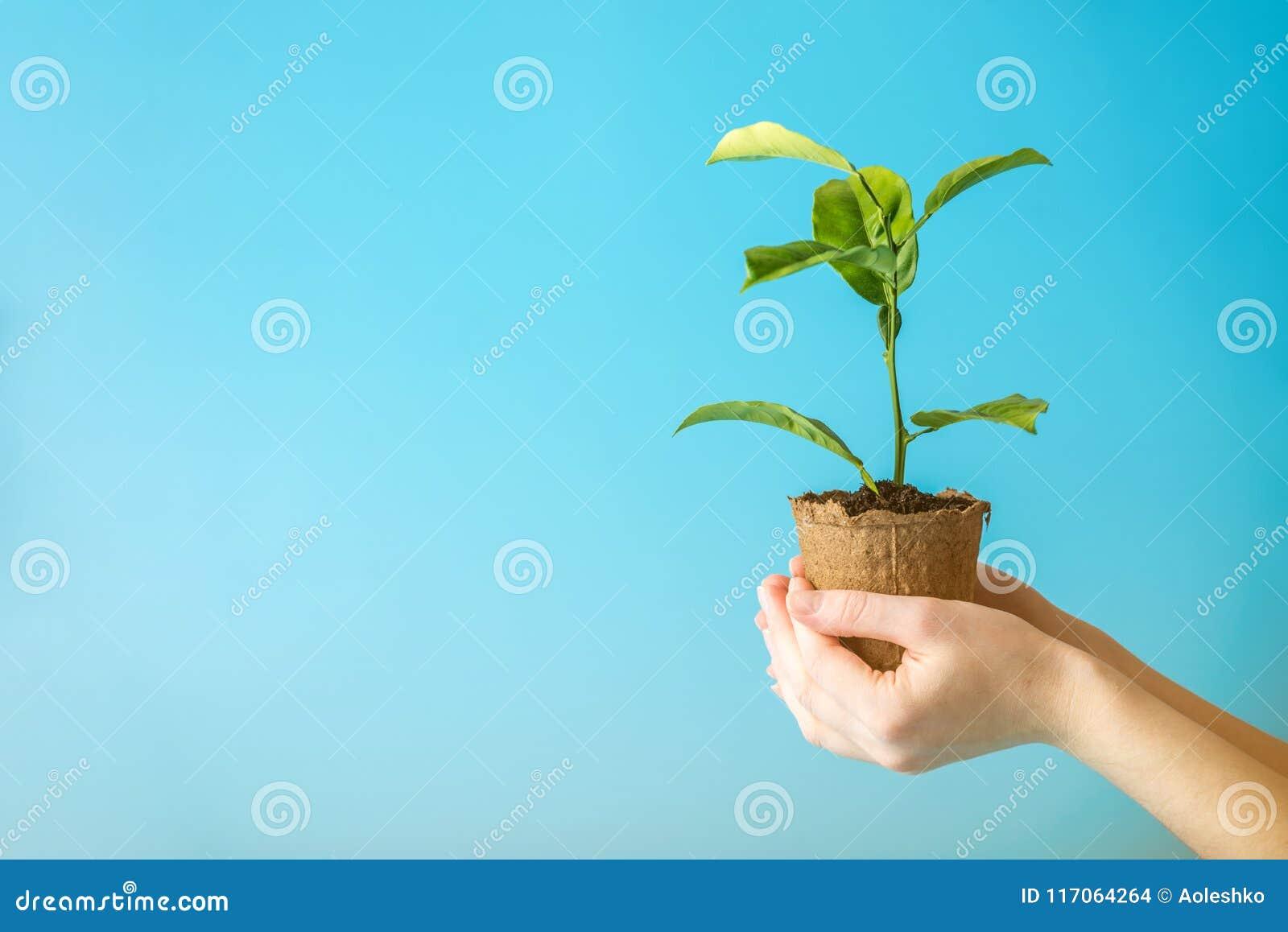Flanca nowy zielony drzewo w ziemi w istot ludzkich rękach na błękitnym tle Pojęcie ochrona środowiska brązowić dzień zakrywającą