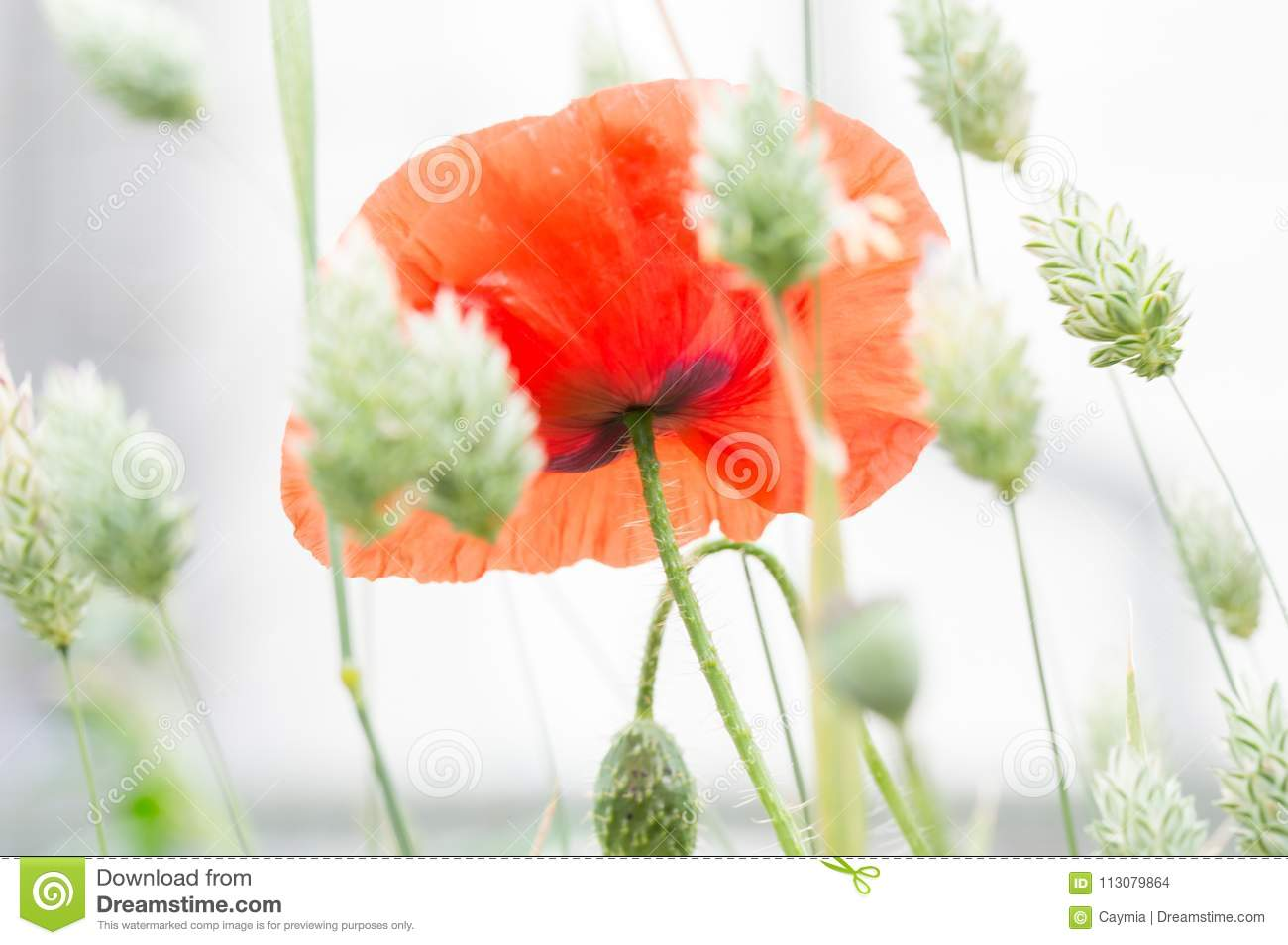Flanders Poppy Flower Papaver Rhoeas And Canary Grass Stock Photo
