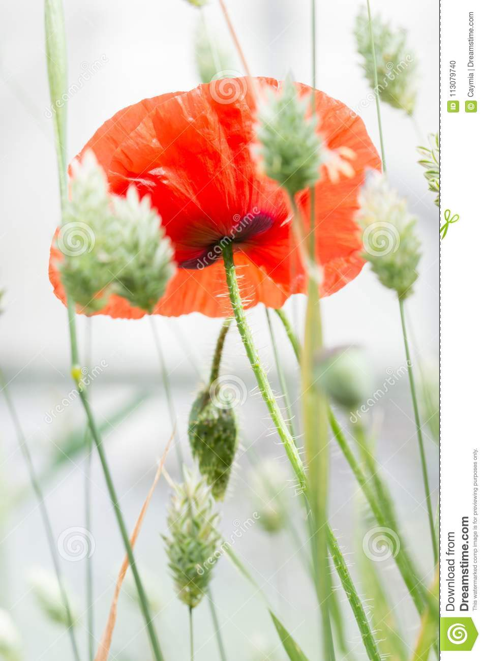 Flanders Poppy Flower Papaver Rhoeas And Canary Grass Vertical