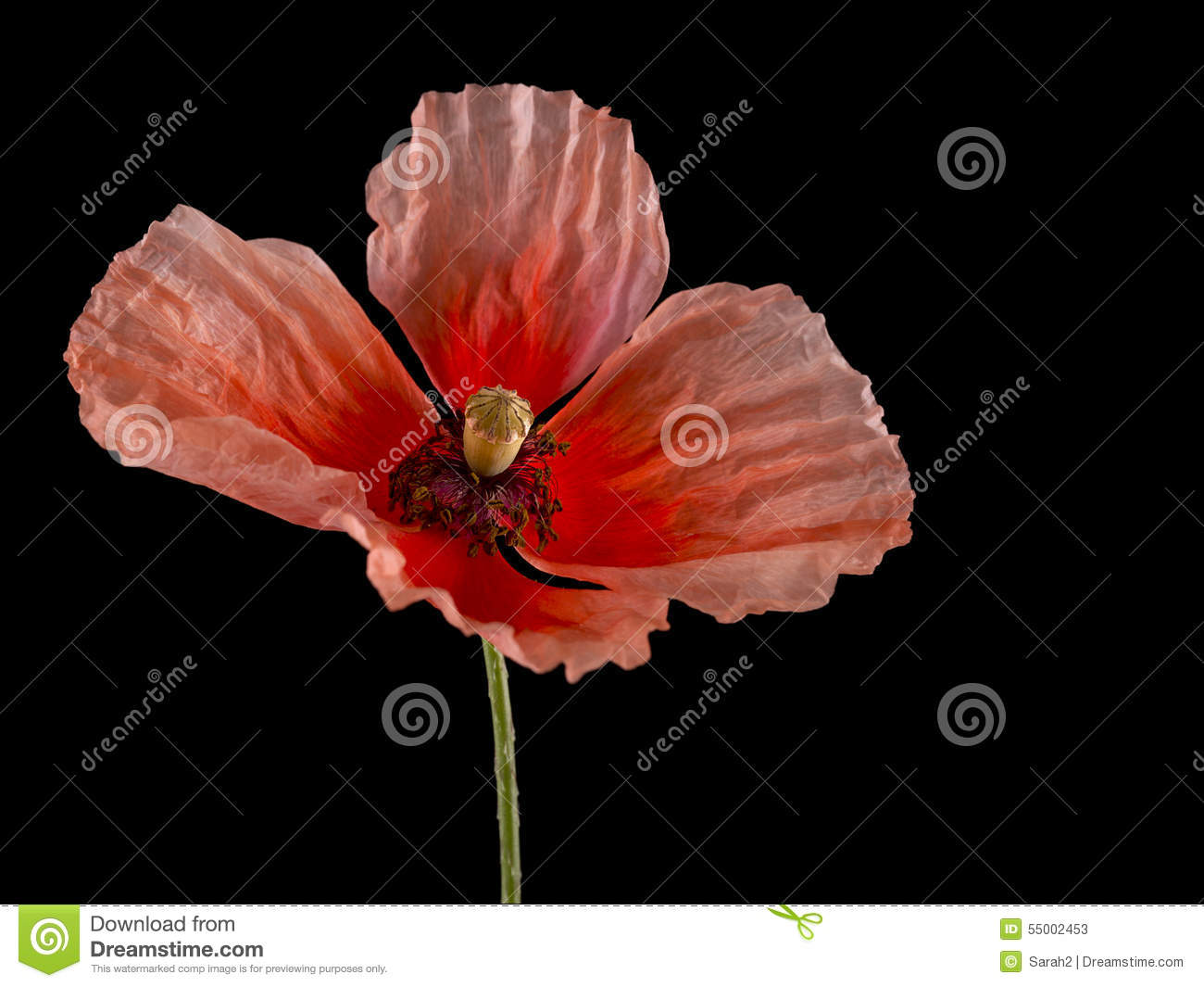 Red poppy flower on the field symbol for remembrance day stock flanders poppy wild flower remembrance day symbol over black stock photos buycottarizona