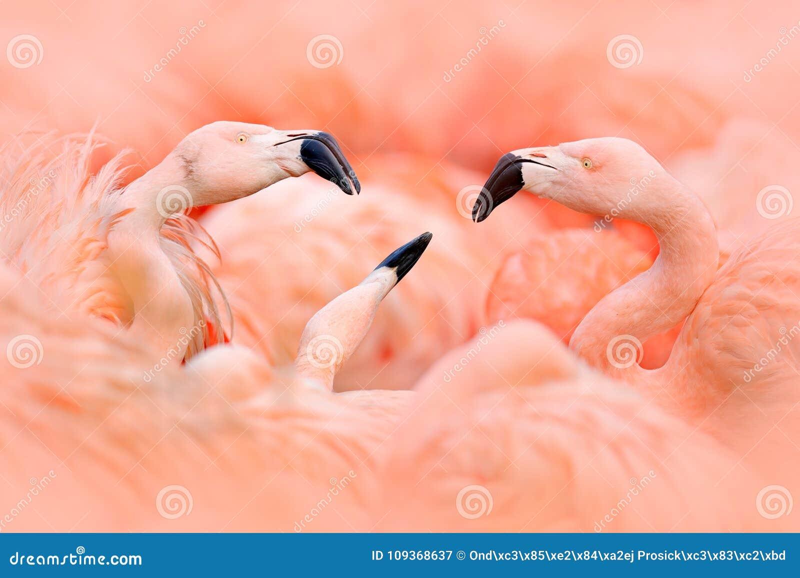 Flaningo fight. American flamingo, Phoenicopterus rubernice, pink big bird, dancing in water, animal in the nature habitat, Cuba,