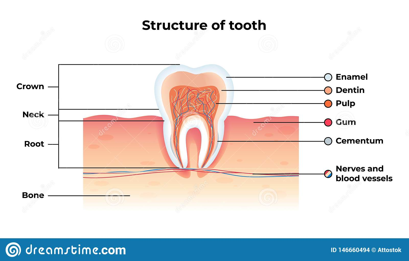 Flat Banner Vector Structure Tooth Infographics
