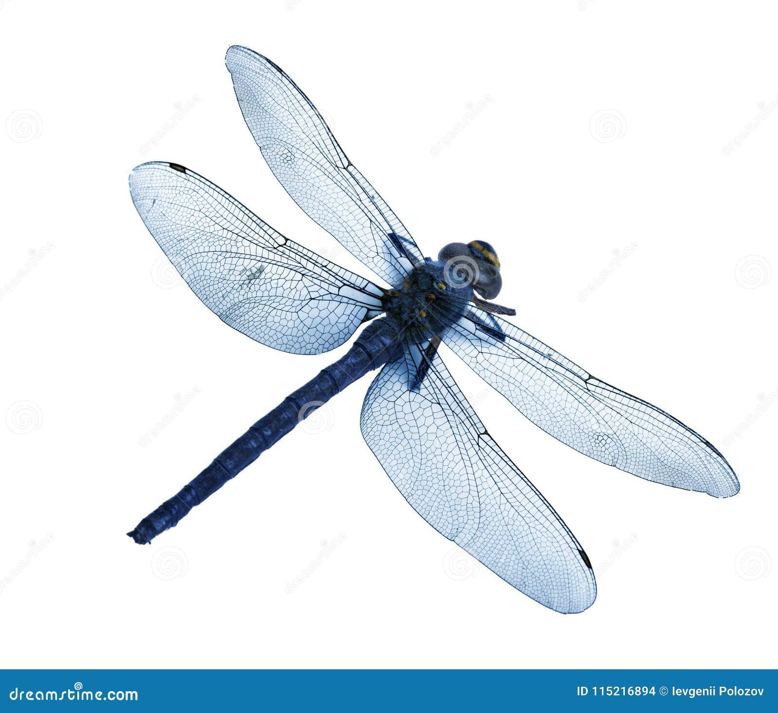 Flatlay piękny błękitny dragonfly odizolowywający na białym tle