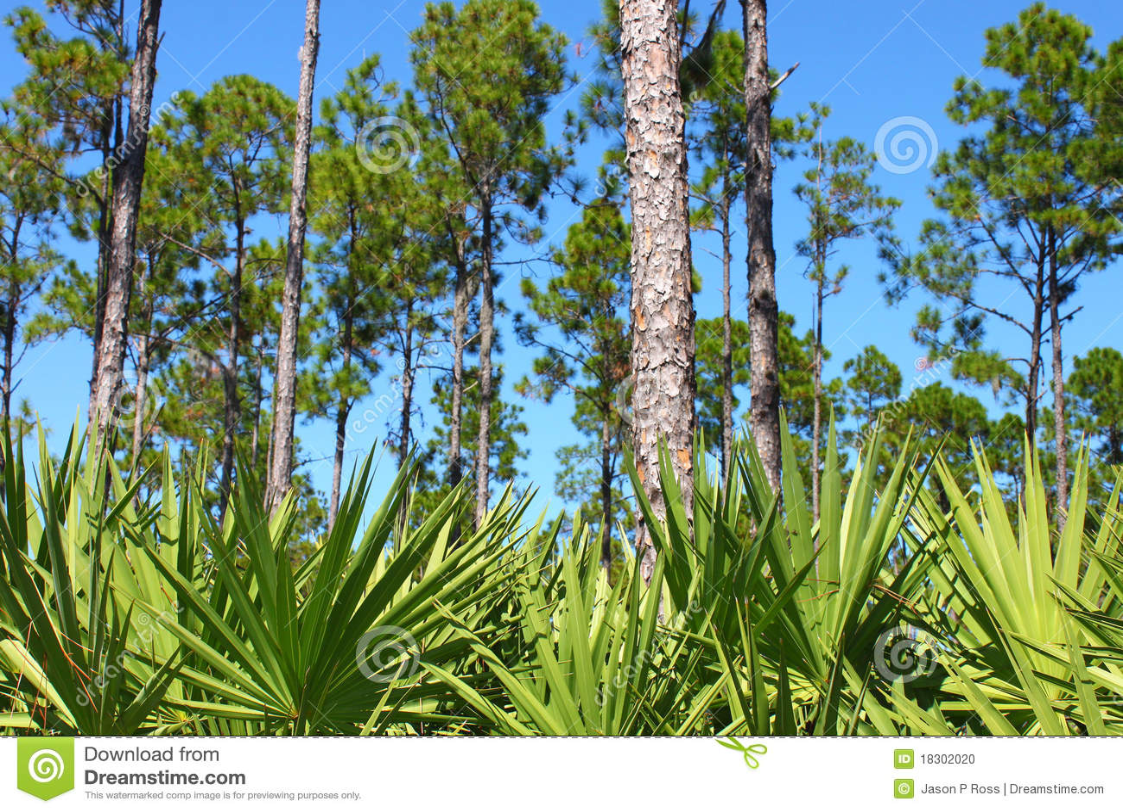 Flatwoods Florida sosna