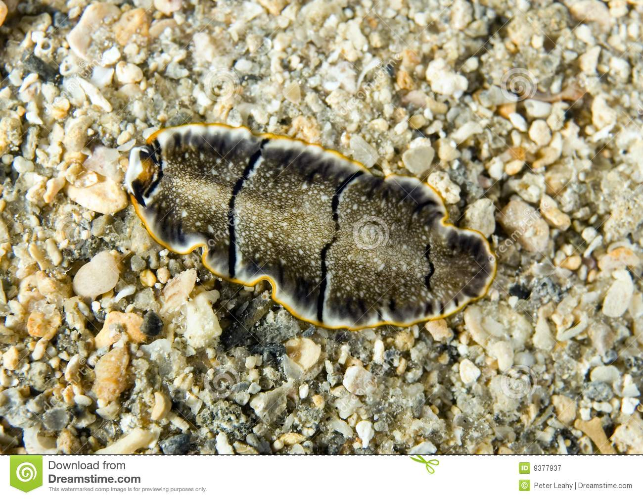 Download Flatworm stock image. Image of polyp, flatworm, coral - 9377937