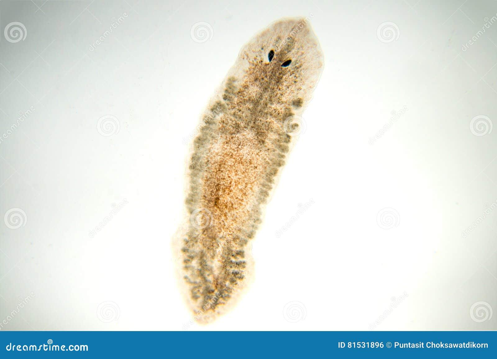 Flatworm de Planaria