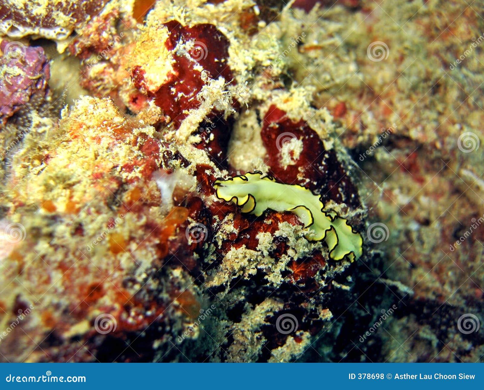 Flatworm jaune
