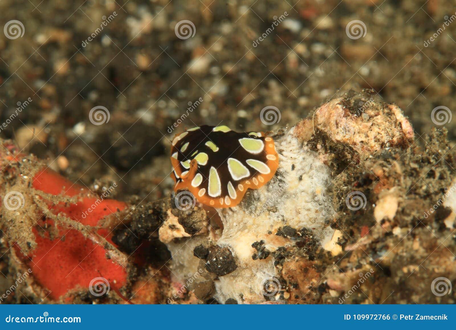 Flatworm - scintillatus Pseudobiceros