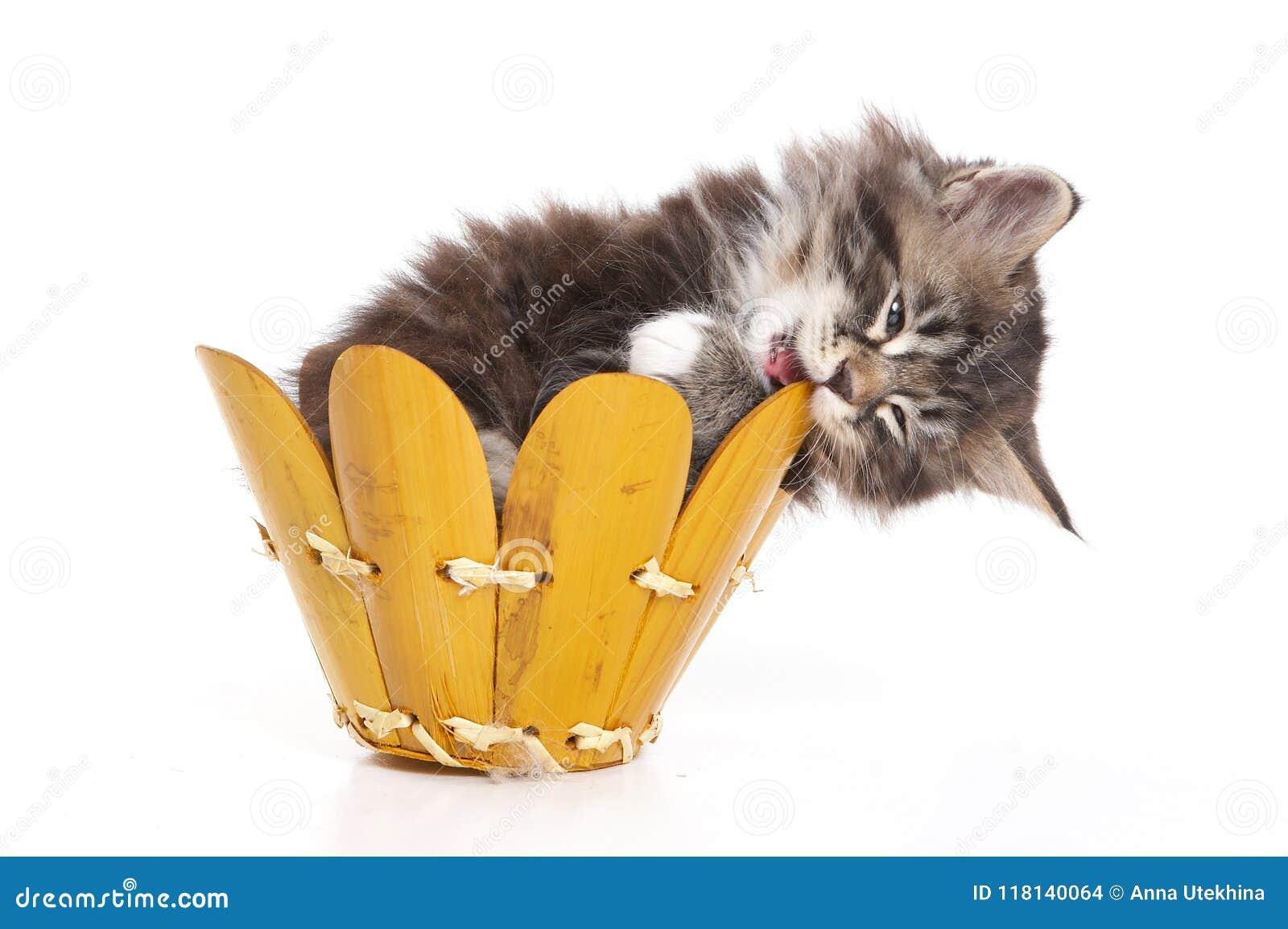 Flaumiges Kätzchen, das in einem Kasten und im Nagen es sitzt