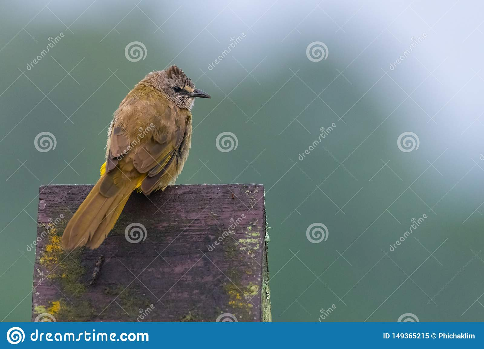 Flavescent Bulbul perching on piece of wood and puffing up plumage