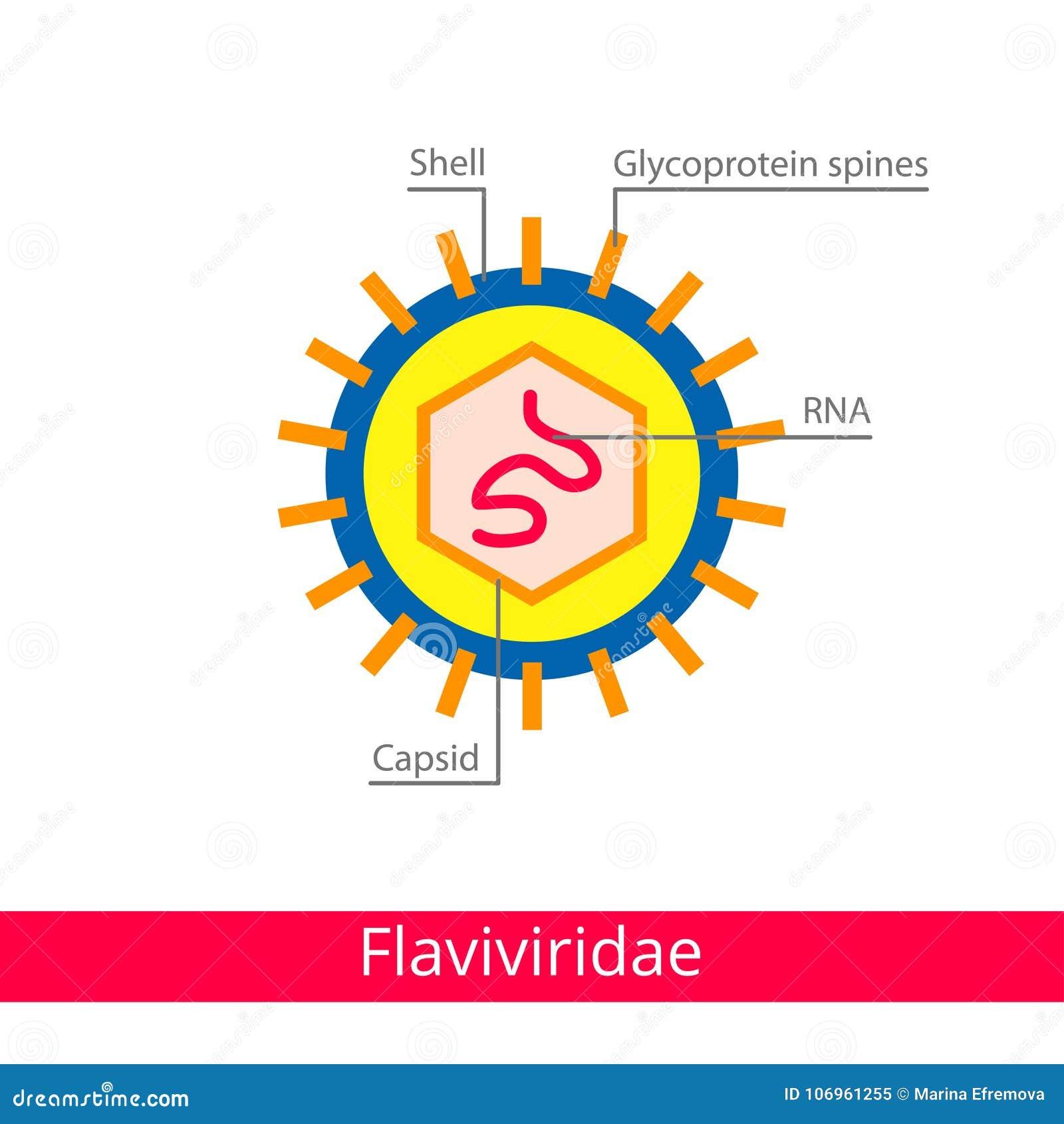 Flaviviridae Ταξινόμηση των ιών