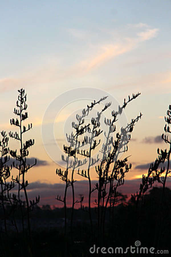 Download Flax Bush Silhouette Behind NZ Sunset Stock Image - Image of evening, bluesky: 86630151