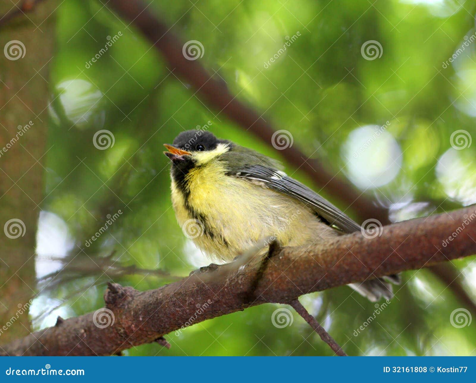 Fledgling Birds Titmouse Stock Photo Image Of Bole, Soft - 32161808-7877