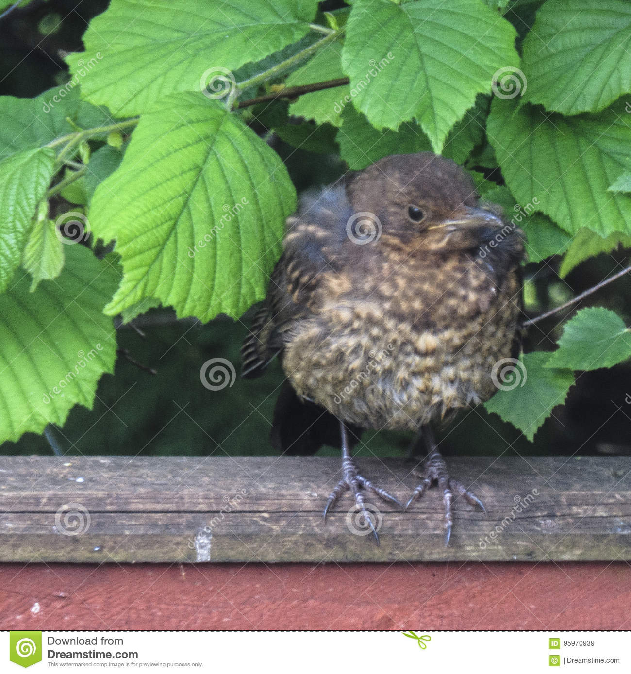 A fledgling blackbird staring at the camera
