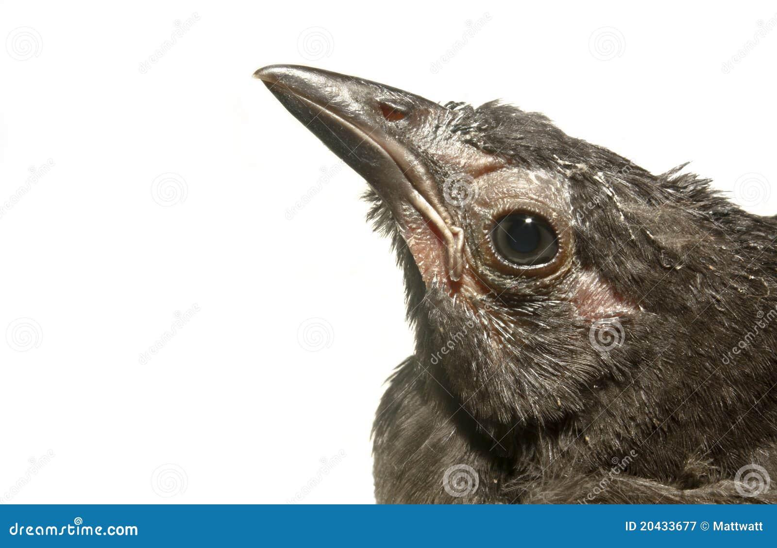 fledgling grackle - photo #15
