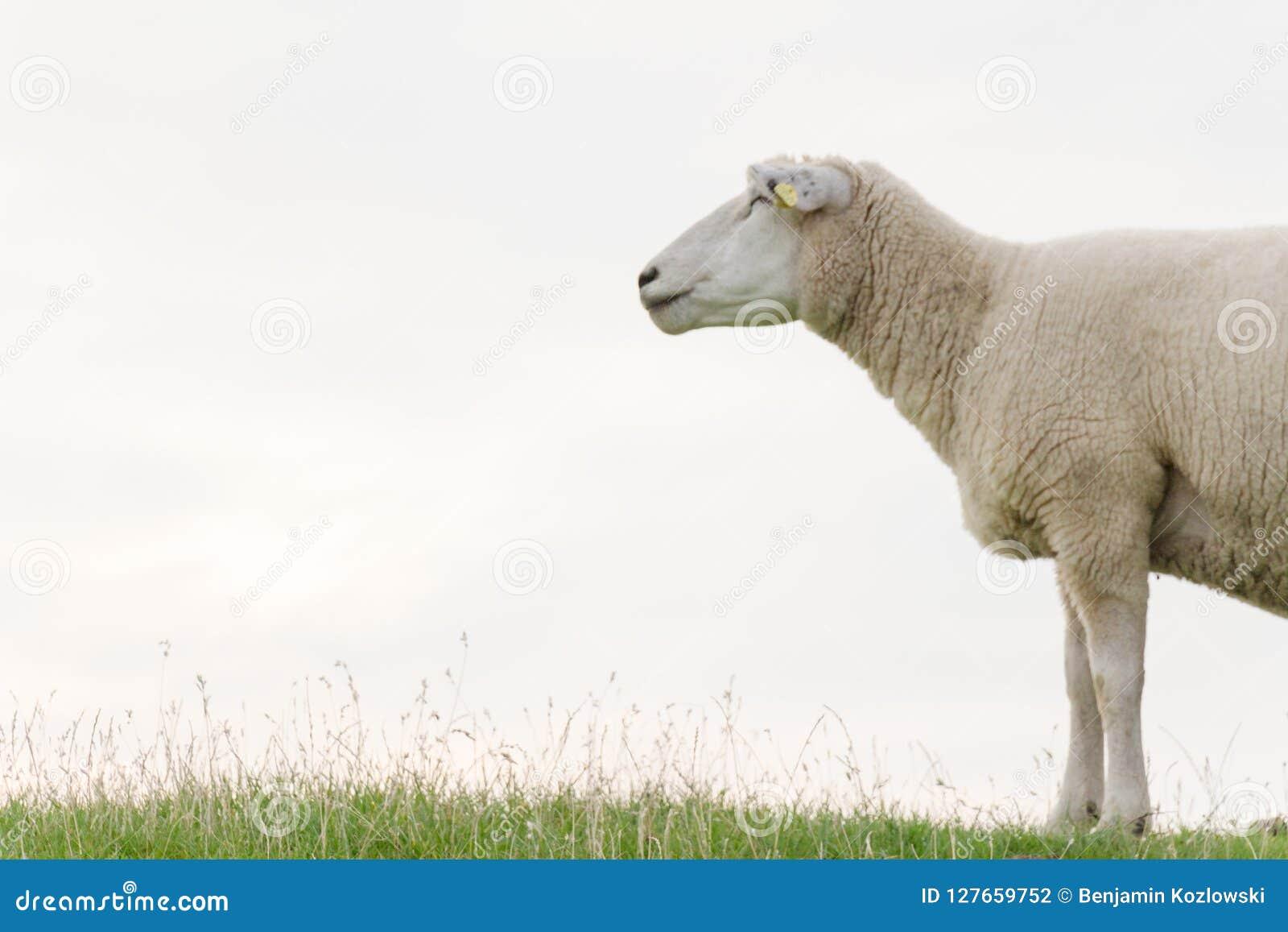 Fleecy sheep on a green
