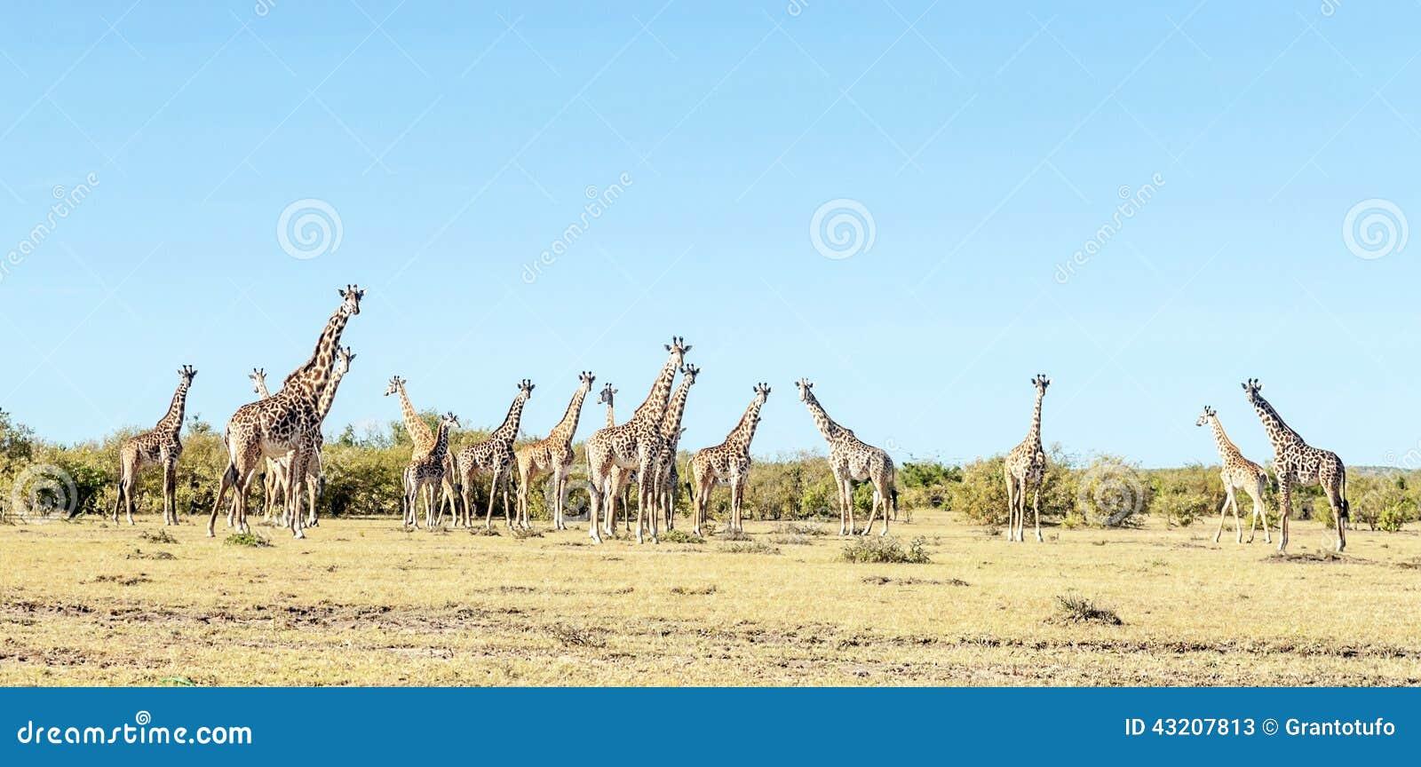 Download Flera giraff fotografering för bildbyråer. Bild av reserv - 43207813