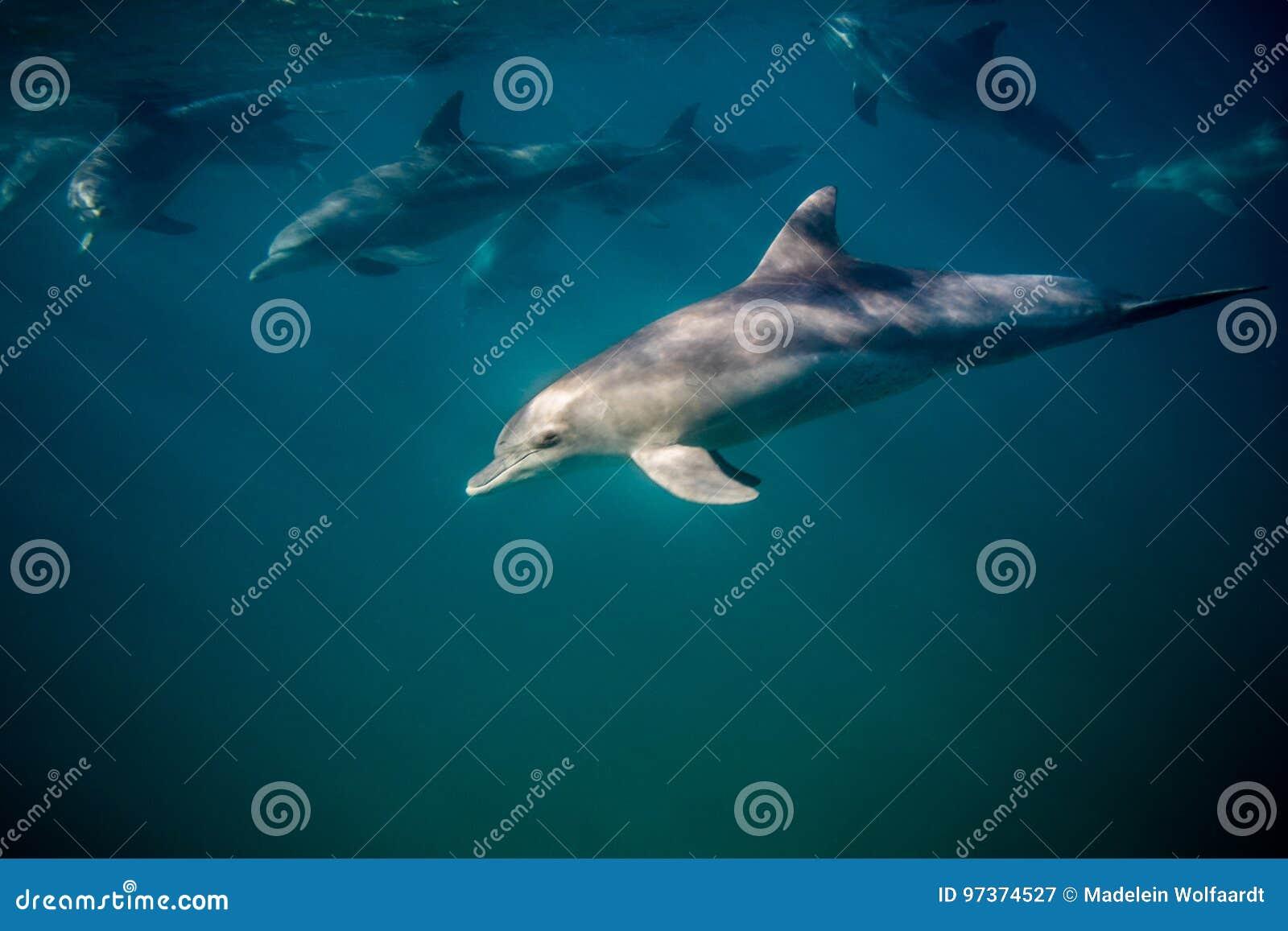 Fles-besnuffeld dolfijn onderwater zijaanzicht