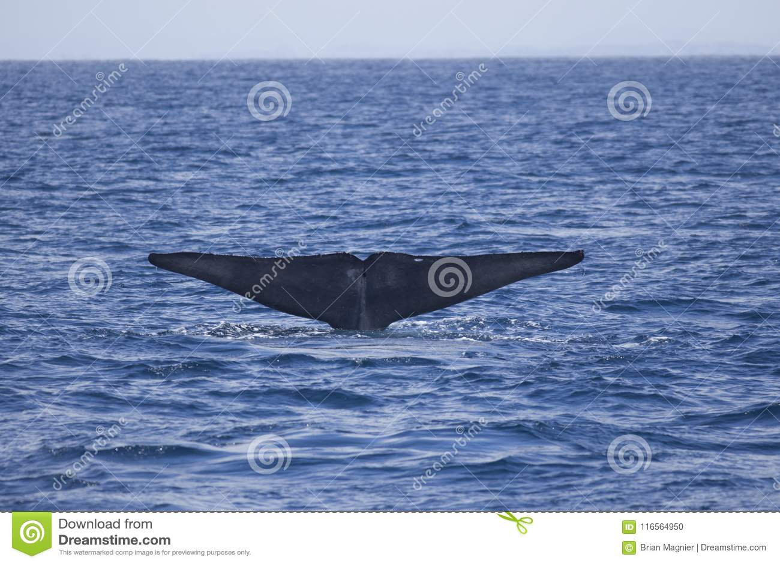 Flets de baleine bleue outre de la Californie