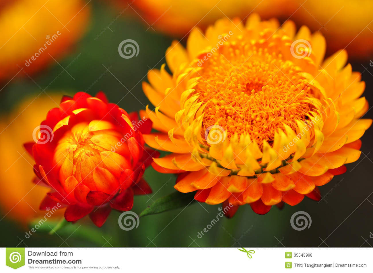 Fleur Eternelle Orange Rouge Photo Stock Image Du Accroissement