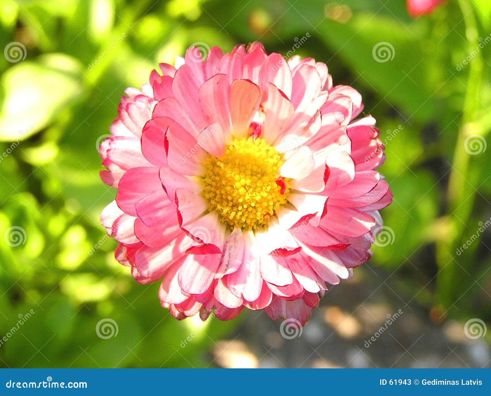 Download Fleur image stock. Image du centrale, jaune, ressort, rouge - 61943