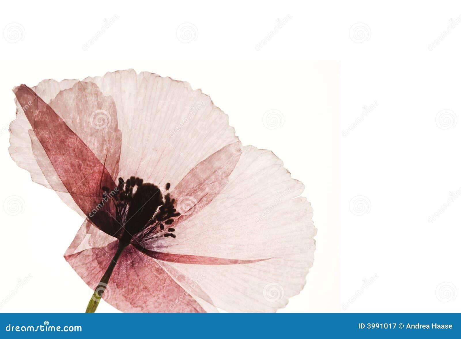 Fleur appuyée de pavot
