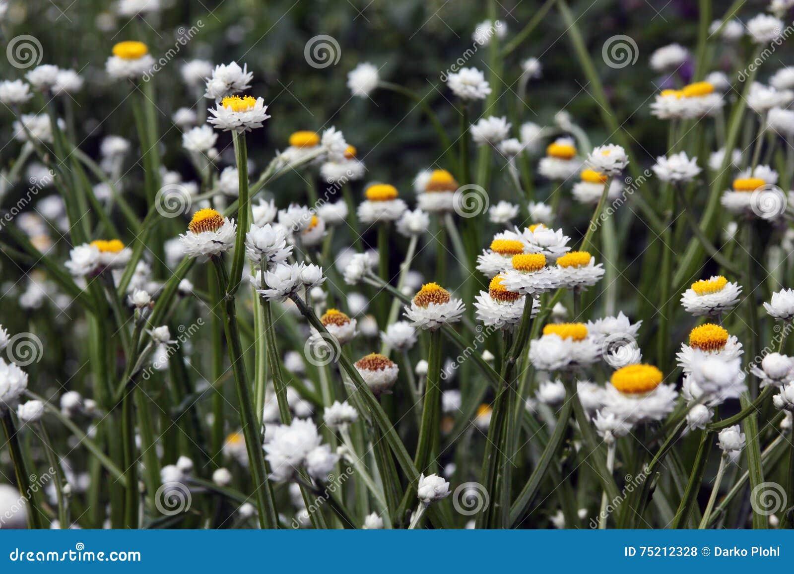 Fleur blanche d Ammobium