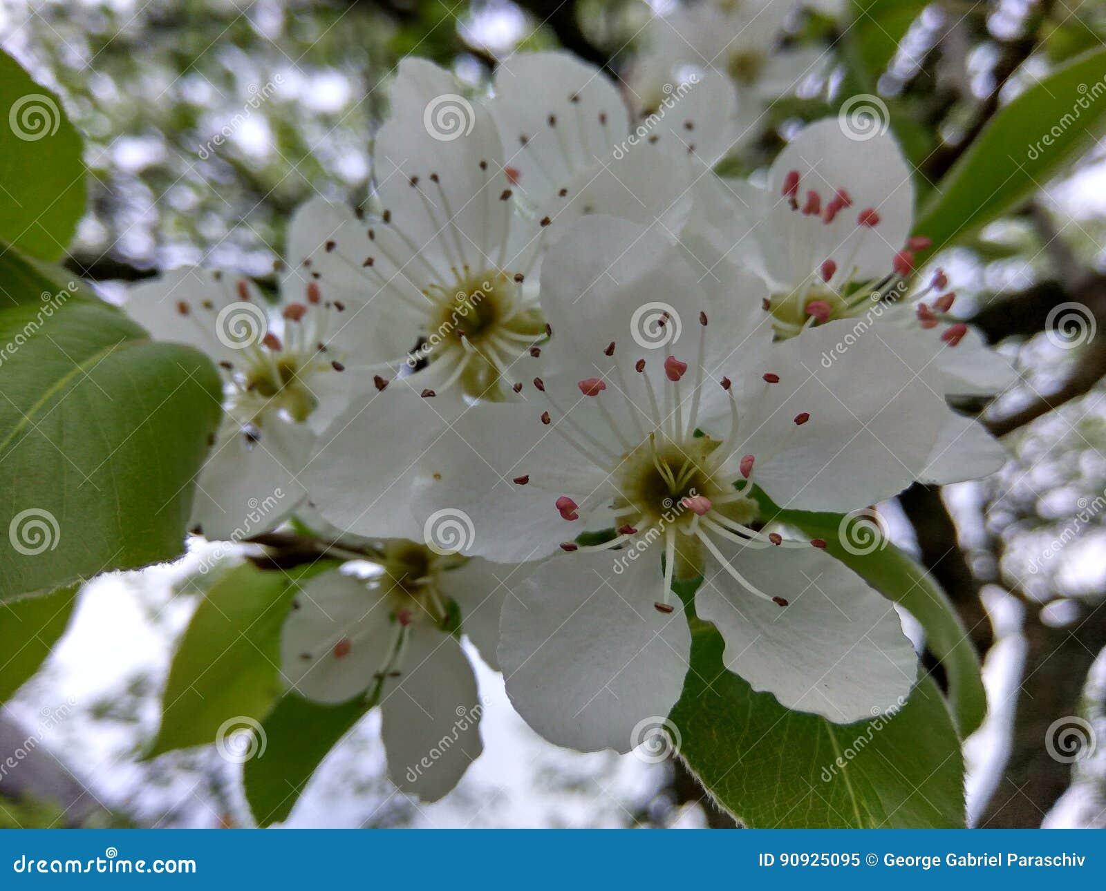 Fleur Blanche D Arbre Image Stock Image Du Agriculture 90925095